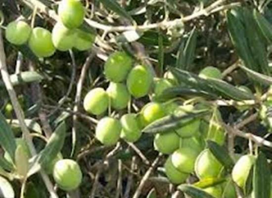 Olio oliva e sansa al posto di olio extravergine oliva