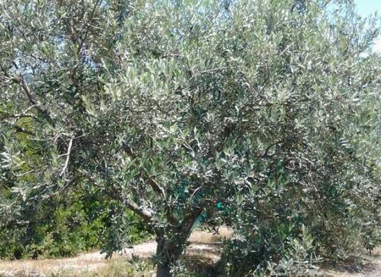 Olioextravergine, Crowndfunding ambientale per salvare Olivo Salento