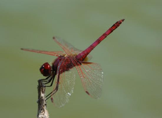Parco Cilento conta le libellule, ambasciatrici stato di salute acque dolci