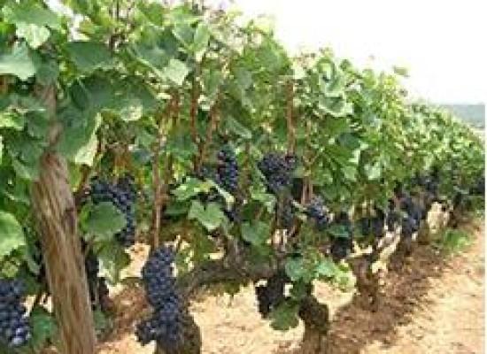 Vendemmia 2014, primo grappolo pinot nero raccolto con 10 giorni anticipo