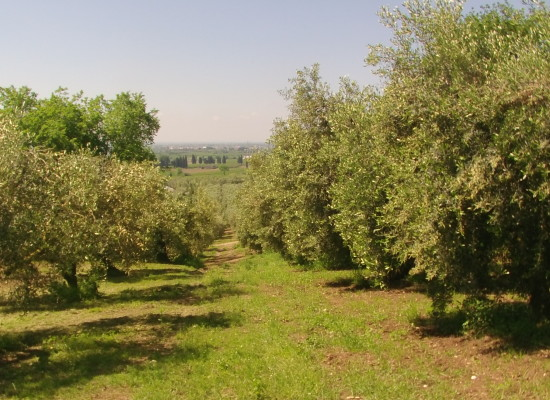 Olio extravergine di oliva, annata 2014, scarsa ma tutta da giocare in frantoio