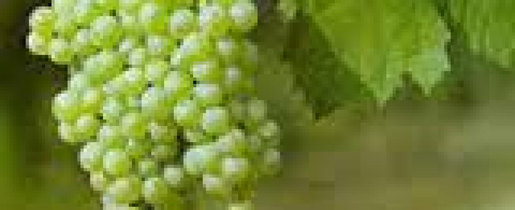 Scopri le vigne di Napoli