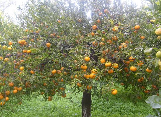 Campi Flegrei ed il Mito del Mandarino