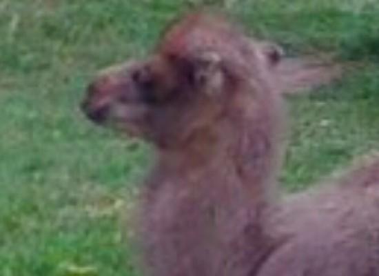 Zoo, cercasi nome per baby cammello