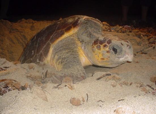 Caretta, Marina di Camerota primo nido di tartaruga marina