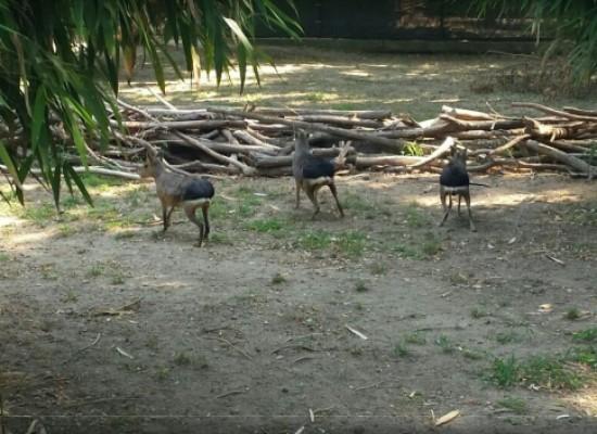Zoo, dalla Patagonia cinque lepri a Napoli