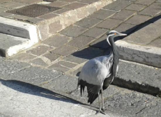 Airone a passeggio per Napoli