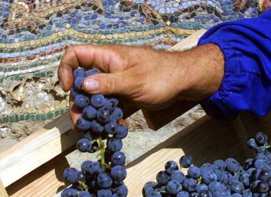 Pompei, si vendemmia l'uva dei romani