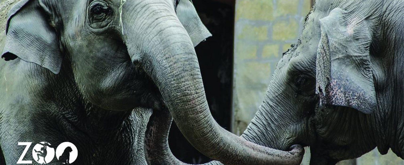 ZOO NAPOLI, 50 candeline per elefante Wini